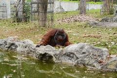 Huge ape in zoopark - stock photo