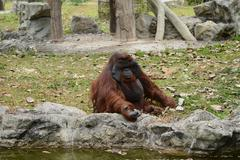 Huge ape in zoopark Stock Photos