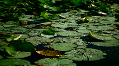 Water Drops  On Torn Lotus Leaves (Nelumbo Nucifera) Stock Footage