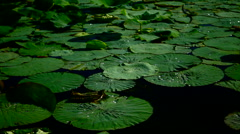 Water Drops  On Lotus Leaves (Nelumbo Nucifera) Stock Footage