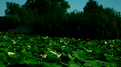 Lotus Leaves Moved By Waves Stock Footage