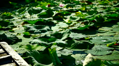 Lotus Leaves And Wooden Pier Stock Footage
