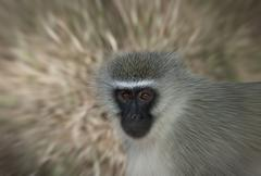 Vervet Monkey Zoom - stock photo