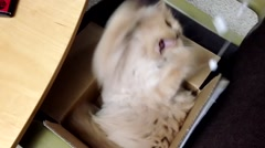 Persian cat playing toy Stock Footage