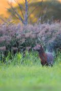 Red deer in a clearing Stock Photos