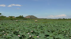 Scenic Lotus Flower Farm in Cambodia with Live Stock Stock Footage