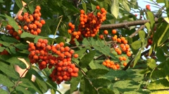 Red berries of Rowan, close-up Stock Footage