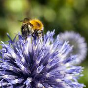 closeup of bumble bee on purple thistle - stock photo