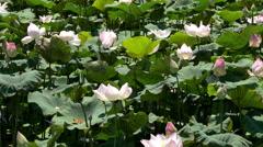 Scenic Lotus Flower Farm in Cambodia Stock Footage