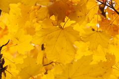 old foliage. autumn - stock photo