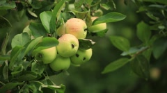Apple on the apple tree branch Stock Footage