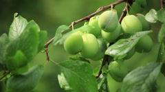 Unripe plums on a branch Stock Footage