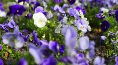 Viola tricolor yellow Stock Footage