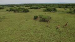 Aerial Footage of Giraffes running Stock Footage