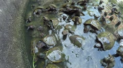 Group of Turtles Swimming in Pond. Close up Stock Footage