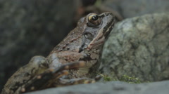Stock Video Footage of Orange black frog on rock in brook. Close up.