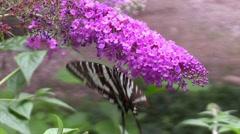 Zebra swallowtail butterfly Stock Footage