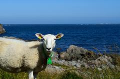 beautiful sheep posing in front of majestic ocean view - stock photo