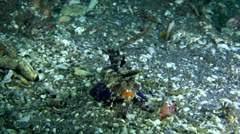 Orange and black dragonet (Dactylopus kuiteri) Stock Footage