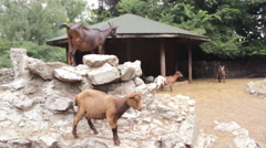 Goats on the rock stone farm 1 Stock Footage