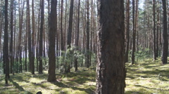 Pine Forest Anashensky bor 01 Stock Footage