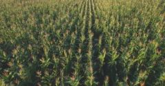 Aero Flight over the corn field in sunset - stock footage
