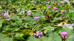 Water Hyacinth in Cambodia Stock Footage