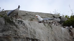 Black-legged kittiwake sea birds nesting in cliffside in summertime Stock Footage