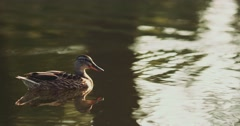 Duck is swimming in still lake water. Slow Motion. Birds and wildlife. Stock Footage