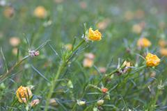 Yellow Portulaca Flowers Stock Photos