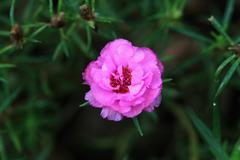 Pink Portulaca Flowers - stock photo