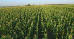 Aero Flight over the corn field in sunset Stock Footage