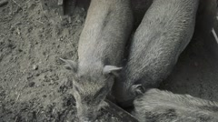 Three pigs eating from the trough on rural farm yard Stock Footage