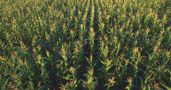 Aero Flight over the corn field in sunset - stock footage
