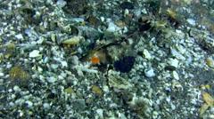 Orange and black dragonet (Dactylopus kuiteri) Stock Footage