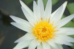 White Waterlily Stock Photos