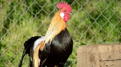 Phoenix rooster on the farm yard Stock Footage