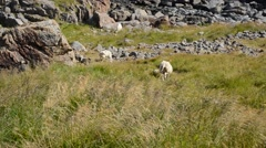 Sheep mother and calf in summer field near ocean Stock Footage