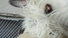 Irish Wolfhound Stock Footage