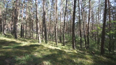 Pine Forest Anashensky bor 03 Stock Footage