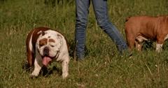 Beautiful dog english bulldog portrait Stock Footage