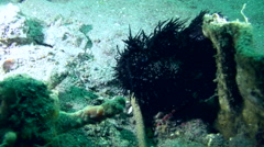 Striped or hairy frogfish (Antennarius striatus) Stock Footage