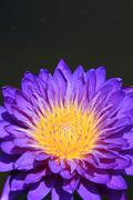 Close up of water-lily Stock Photos