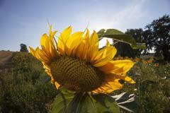 Single sunflower on a sunny day Stock Photos
