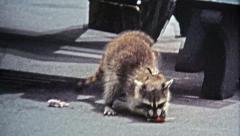 1971: Man feeds pet racoon a lollipop as grifting street performer. Stock Footage