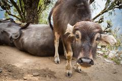 Nepali animals - stock photo