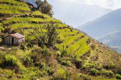 Rice fields - stock photo