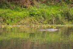 Crocodile in the river - stock photo