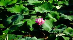 Blooming Lotus Flower (Nelumbo Nucifera) In The Summer Stock Footage