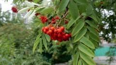 Red rowan berries summer. Stock Footage